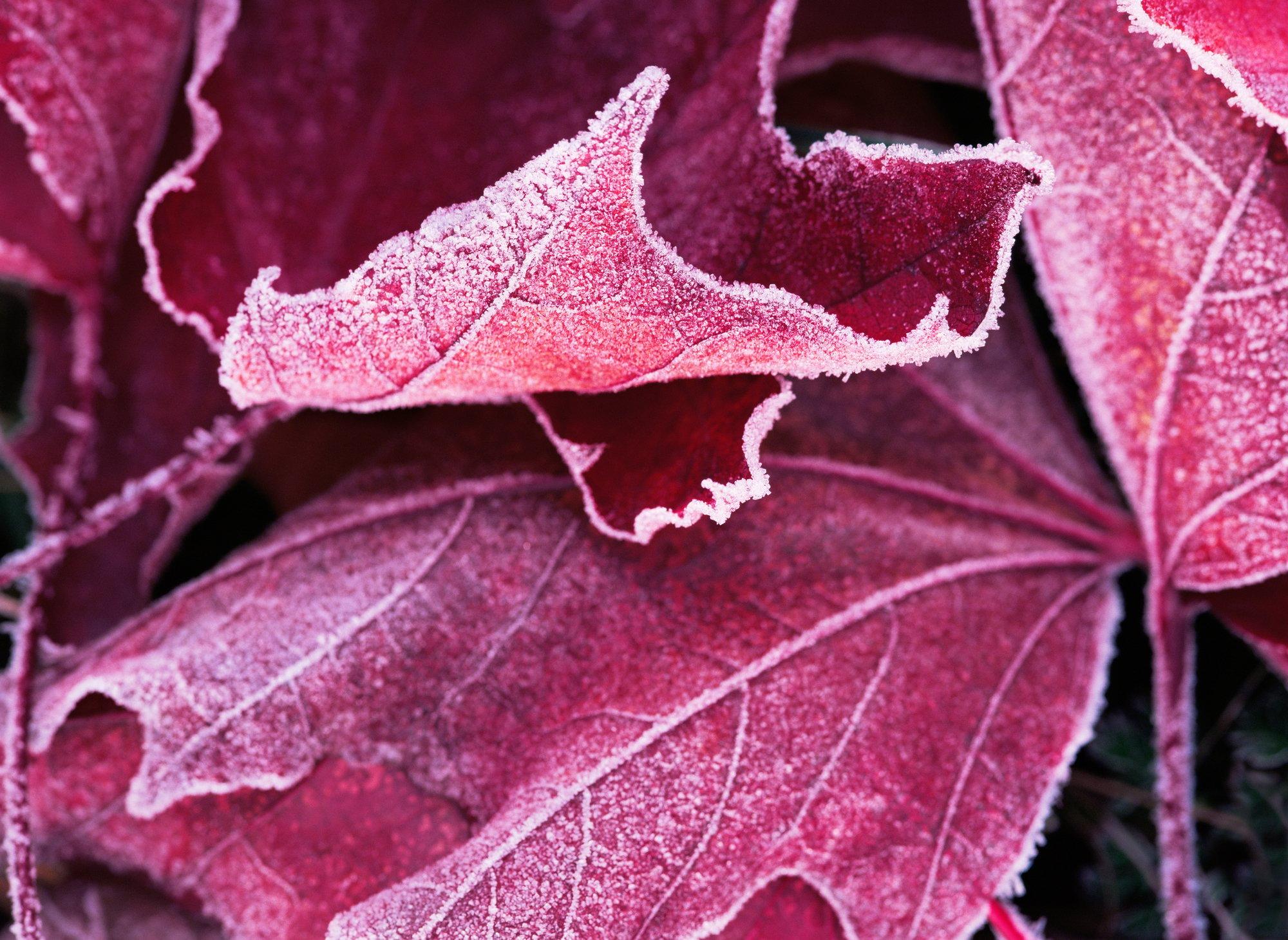 Frost on a bigleaf maple leaf