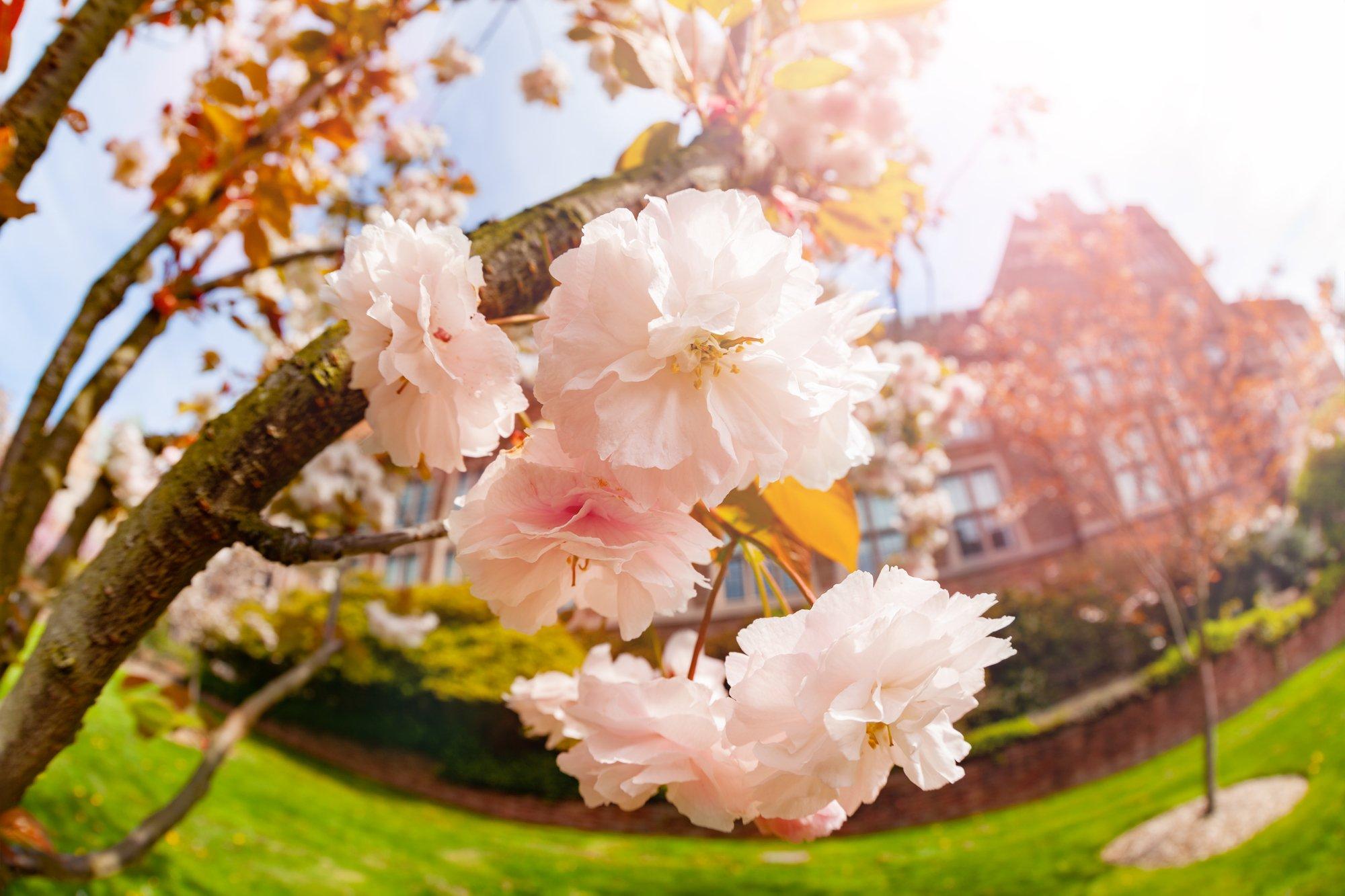 Japanese cherry, Prunus or Cerasus serrulata blossoms in Seattle University campus, Washington